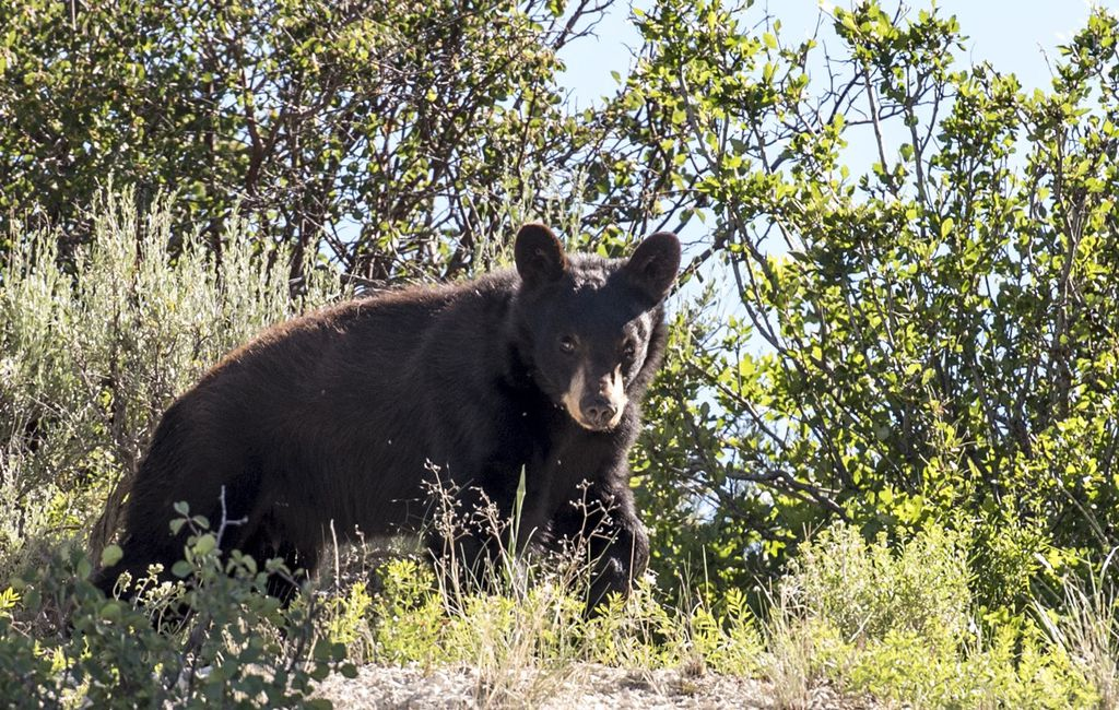 """(Utah Division of Wildlife Resources) Utah law allows hunters to pursue black bears with dogs, but a case involving a Florida dog trainer shows how this """"sport"""" can veer off into criminality."""