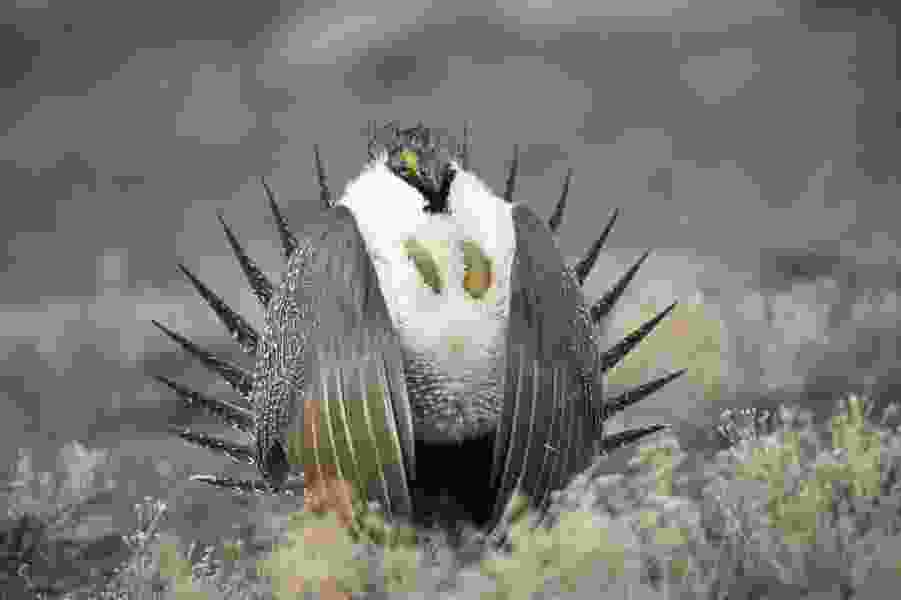 Commentary: No country for the old sage grouse