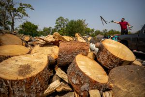(Trent Nelson  |  The Salt Lake Tribune) Tre Martinez helps unload wood from fallen trees that is being donated to the Urban Indian Center of Salt Lake on Wednesday, Sept. 16, 2020. The center, along with Utah Navajo Health System in Montezuma Creek are helping Native American elders in Utah prepare for winter by holding a firewood relief drive and collection.