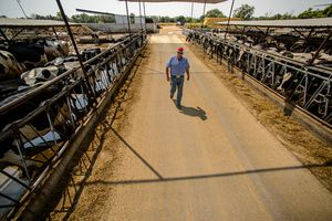 (Trent Nelson   The Salt Lake Tribune) Ron Gibson is a sixth generation dairy farmer and president of the Utah Farm Bureau. Gibson was photographed at his Ogden farm, Green Acres Dairy, Wednesday, August, 1, 2018.