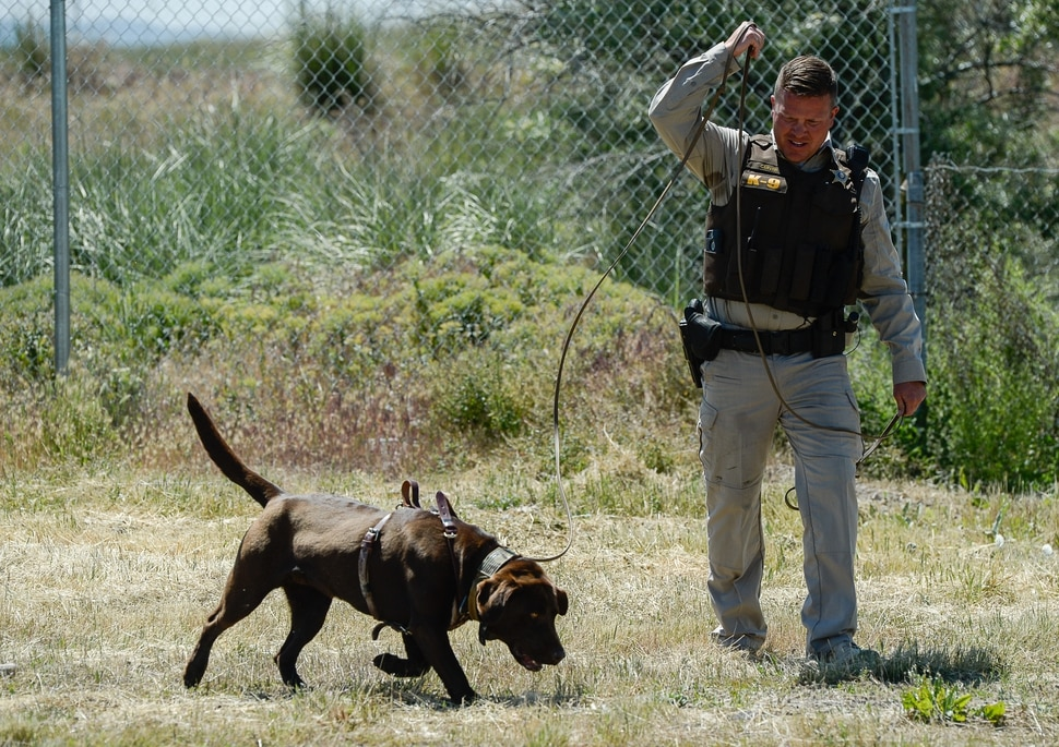 (Francisco Kjolseth | The Salt Lake Tribune) Conservation officer Josh Carver follows his male chocolate Lab named Cruz as it tracks a weapon and suspect through the brush during a training demonstration at the Le Kay Public Shooting Range in Salt Lake on Monday, June 10, 2019. The Utah Division of Wildlife Resources K9 program has been revitalized with the introduction of two newly trained dogs.