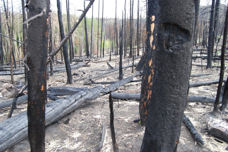Dixie National Forest is planning to log trees killed in the Brian Head Fire, which burned parts of Utah's Garfield and Utah counties in 2017, and seed with grasses and forbs, such as this area in Sydney Valley. Photo by Brian Maffly