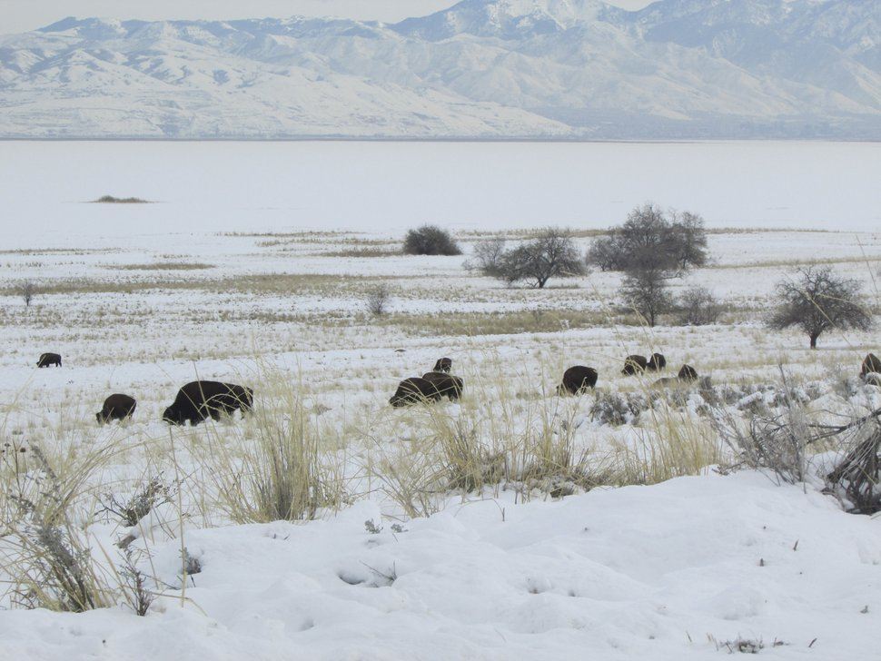 (Tom Wharton | Tribune file photo) Bison are easily seen at Antelope Island State Park during the winter months.