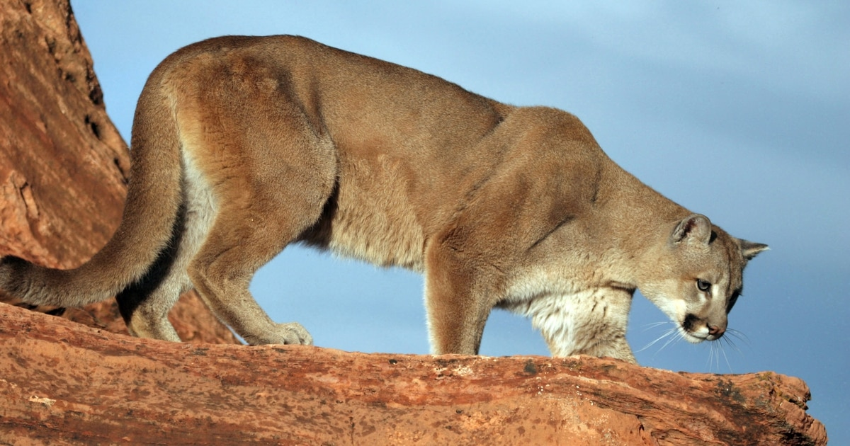 A cougar in your luggage hunting carcass with utah state for Utah game and fish