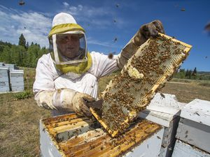 (Rick Egan     The Salt Lake Tribune)    Beekeeper Darren Cox, inspects his hives in Logan Canyon, in the Uinta-Wasatch Cache National Forest where he pastures hundreds of hives in the summer, on Tuesday, Aug. 11, 2020.