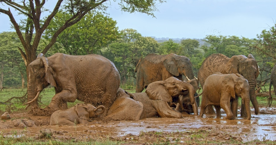 "(Photo courtesy Discovery) There's elephant sibling rivalry in ""Serengeti."""