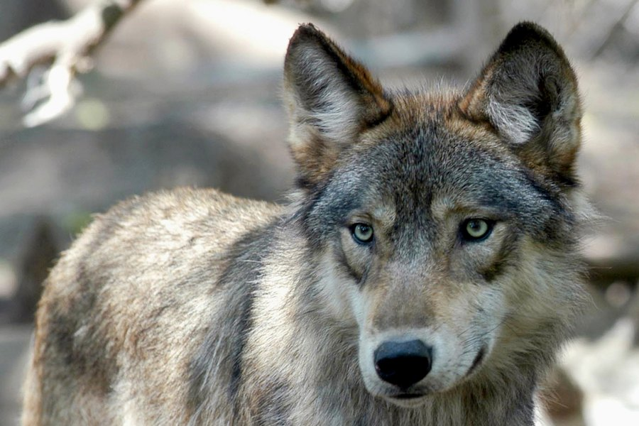 State pulls gray wolf traps in Rich County