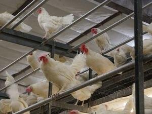 (Photo courtesy of Oakdell Egg Farms) Hens are free to perch inside Oakdell Egg Farms' cage-free facility in Lewiston, near the Idaho border.