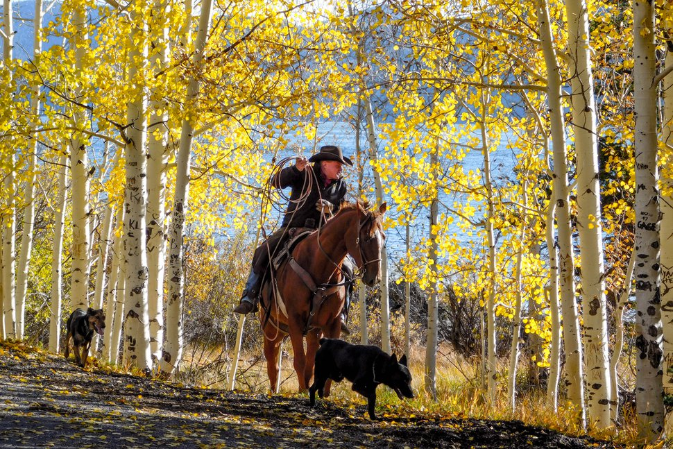 (Erin Alberty | The Salt Lake Tribune) Rancher Darren Nelson drives his cattle along Fish Lake on Oct. 6, 2017 in Sevier County. His herd of 1,100 spends about 10 days grazing near the Pando aspen grove.