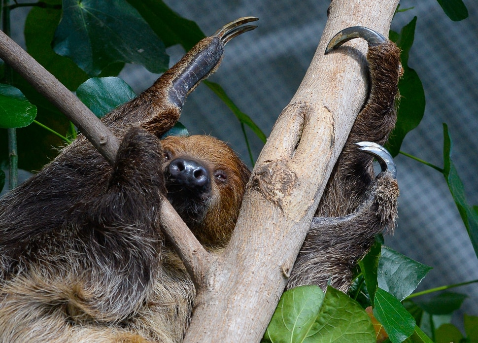 (Francisco Kjolseth | The Salt Lake Tribune) The Loveland Living Planet Aquarium has acquired a couple of two-toed sloths that will be unveiled to the public on Friday. With the aid of two claws for their front legs and three for the back legs a female sloths readjusts from a mid day slumber. They've been adjusting to the sights and sounds of the aquarium for the last couple of weeks after being rescued from the South American country of Guyana due to habitat deforestation.