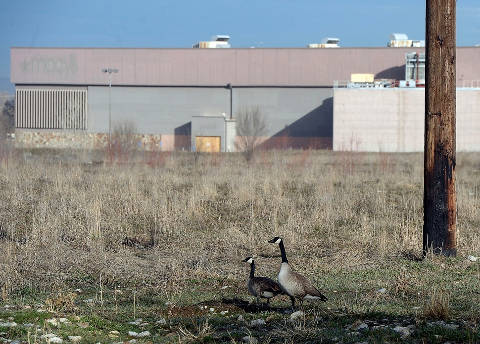 (Al Hartmann | The Salt Lake Tribune) Canada Geese roam the acres of the old Cottonwood Mall site near 4800 S. Highland Drive in Holladay on Tuesday March 13, 2018.