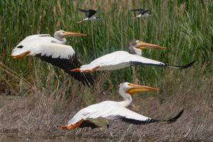(Francisco Kjolseth | The Salt Lake Tribune) American white pelicans fly alongside black-necked stilts at Bear River Migratory Bird Refuge, a 77,000-acre nature reserve in the northern Great Salt Lake on Wednesday, June 23, 2021. Pelicans at the refuge have flown thousands of miles to get to the Great Salt Lake, where thousands of them will hatch chicks on Gunnison Island, one of the species' largest breeding colonies.