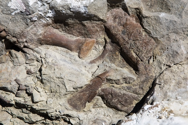 Toe bones, the upper jaw, and snout of the fossilized remains of a tyrannosaur skeleton found in Grand Staircase-Escalante National Monument Tuesday, Oct. 3, 2017. The skeleton is the most complete of its kind found in the Southwest United States. Mark Johnston/NHMU