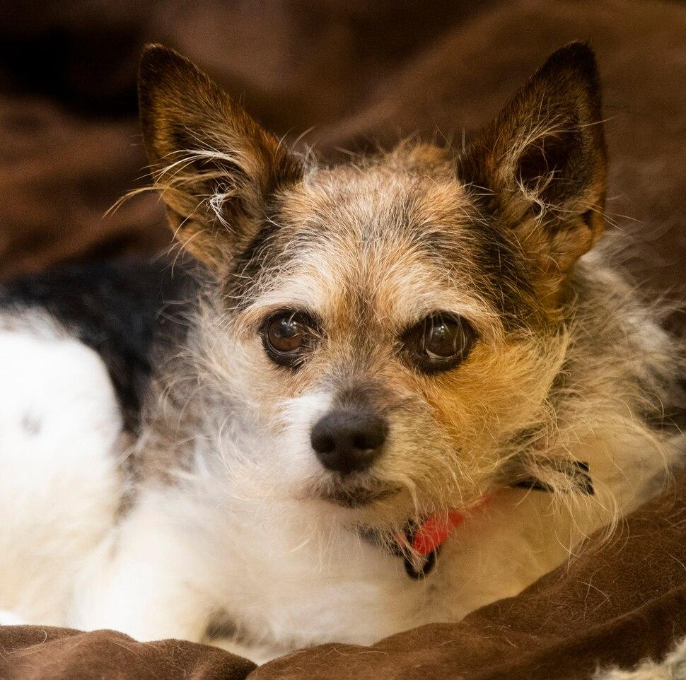 (Rick Egan | The Salt Lake Tribune) Max, a Chihuahua -Norwich Terrier mix at The Humane Society of Utah, Tuesday, Dec. 4, 2018.