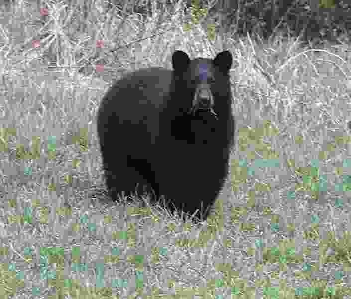Colorado man fined $1K for repeatedly feeding bears