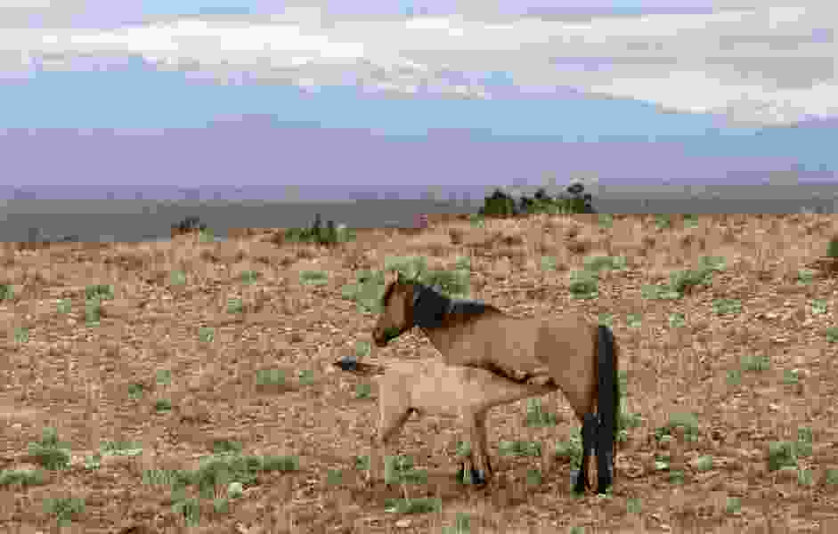 Federal protections sought for mustangs in Montana mountains