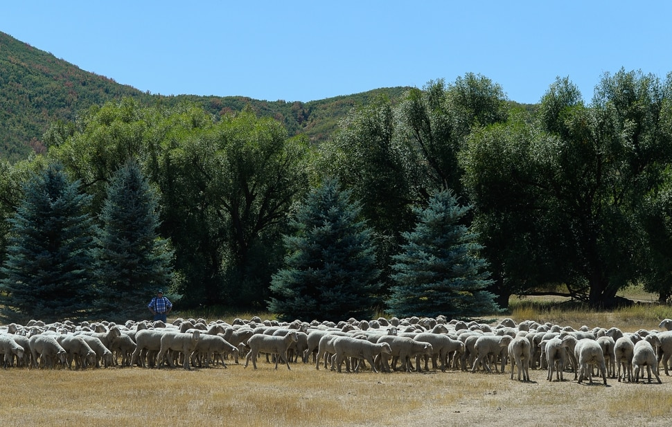 (Francisco Kjolseth | The Salt Lake Tribune) Hundreds of sheep arrive from the Strawberry Valley to Midway's Soldier Hollow on Wed. Aug. 29, 2018, for this weekend's 16th annual Soldier Hollow Classic Sheepdog Championship and Festival, which runs Aug. 31-Sept. 3. This year, 44 dogs and 34 handlers will work with 331 sheep for the $20,000 purse.