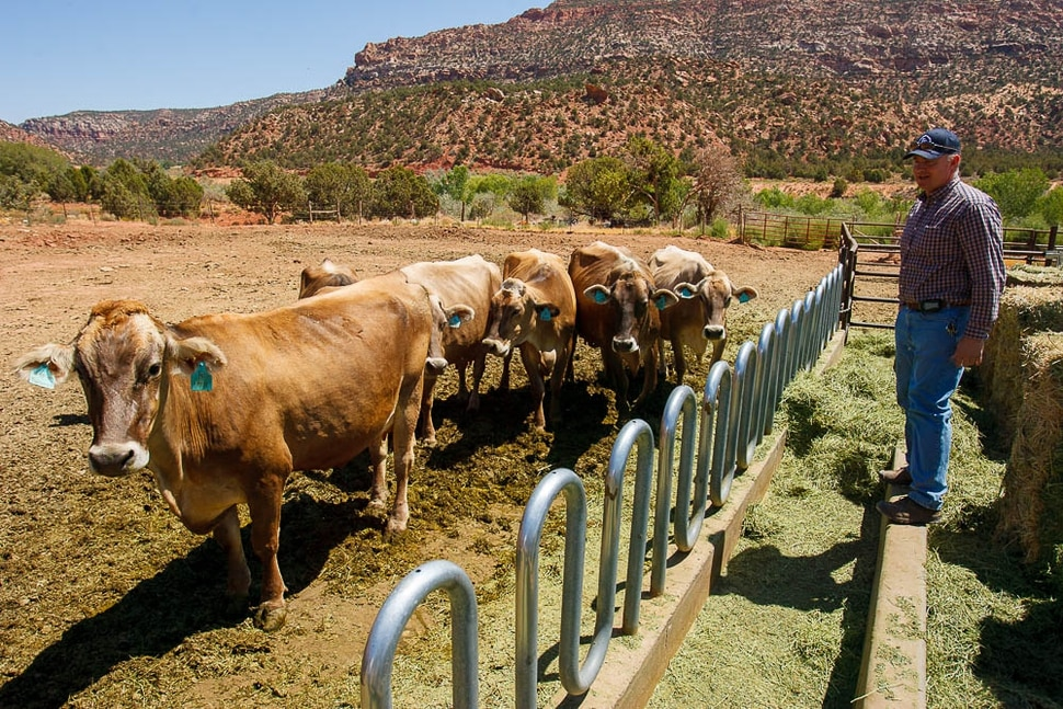 (Trent Nelson | The Salt Lake Tribune) Winford Barlow of Finney Farm with some of his Brown Swiss cows in Hildale on Tuesday August 11, 2009.