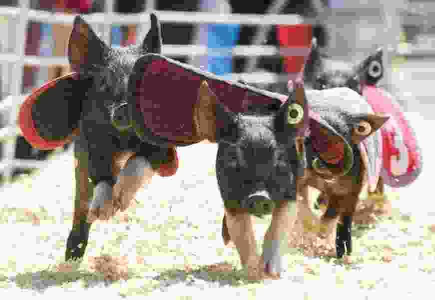 Pigs, high dives, acrobatics: Opening day of the Utah State Fair in Salt Lake City