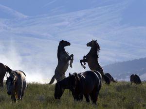 Rick Egan  |  The Salt Lake TribuneHorses from the Onaqui wild horse herd, about 60 miles southwest of Tooele,  near Simpson Springs, Thursday, June 5, 2014.