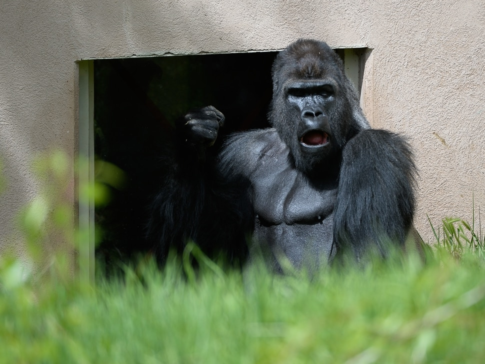 (Francisco Kjolseth   The Salt Lake Tribune) A report came out on Monday, May 6, 2019, that says one million different species are in imminent danger of extinction several of which are represented at Hogle Zoo like the Western Lowland Gorilla.