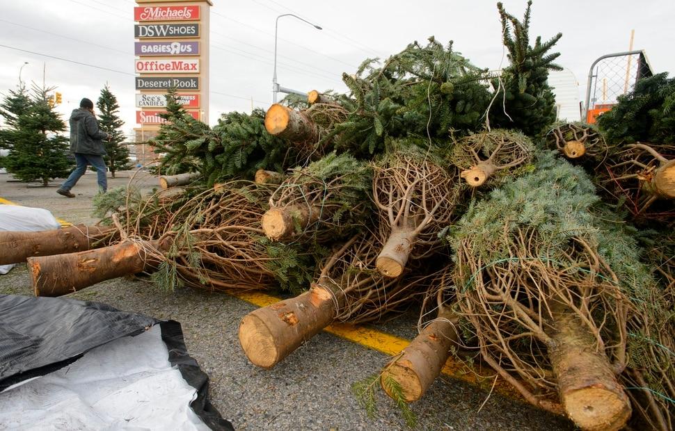 steve griffin the salt lake tribune lucas brown sets up a j - Christmas Tree Prices