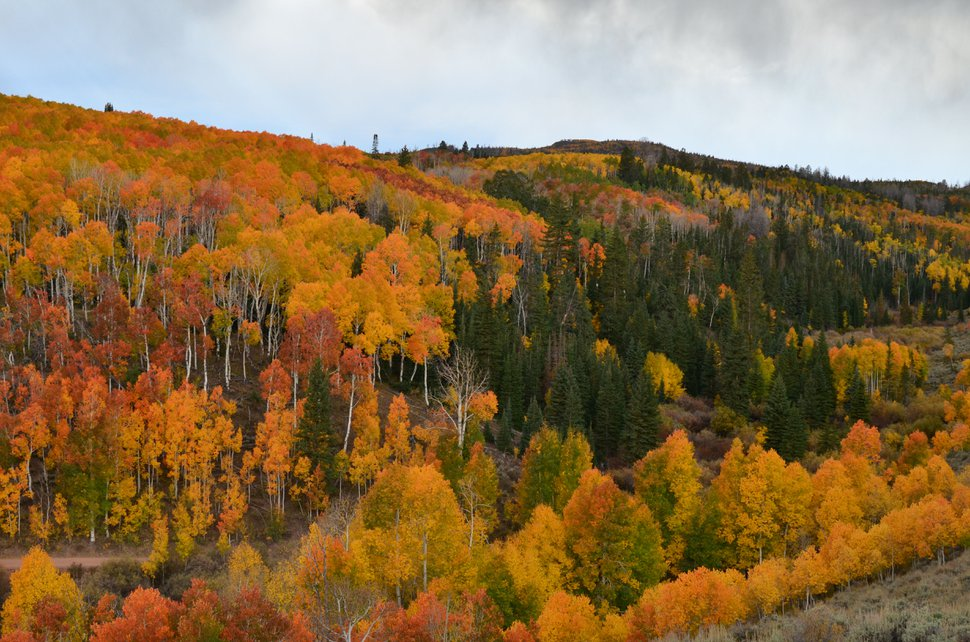 (Courtesy U.S. Forest Service) Aspen display full fall colors September 30, 2011 on the east side of Monroe Mountain, above the community of Greenwich, Utah, in the Fishlake National Forest. Photo by John Zapell.