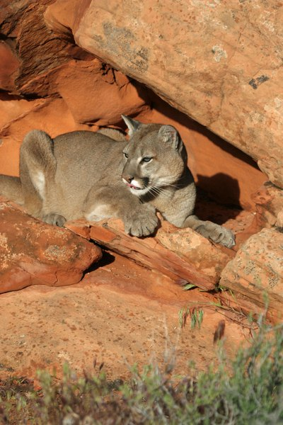 Cougar hunting permits to increase in utah over the for Utah fishing license cost 2017