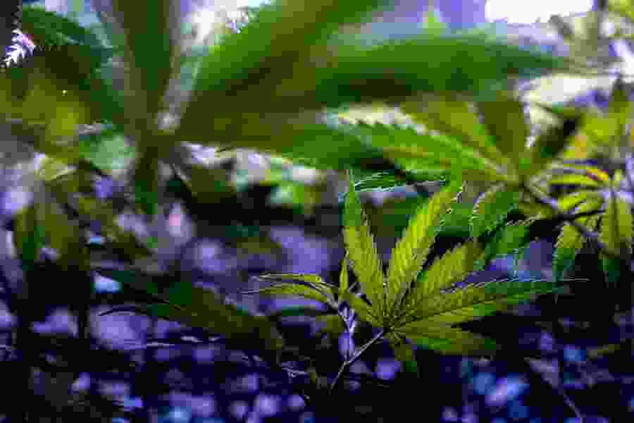 Utah marijuana opponents cry foul over Legislature's planned tweaks to medical cannabis law