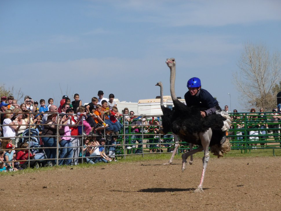 (Photo courtesy of Marty Jessop) Marty Jessop rides an ostrich in a race in Chandler, Ariz., in 2009.