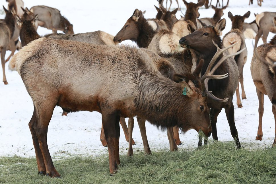 (Courtesy Utah Division of Wildlife Resources) DWR managers have decided to end wagon rides at the Hardware Ranch WMA early this year. Feb. 9 and Feb. 10 are the last days to take a wagon ride through the few elk that are still at the ranch.