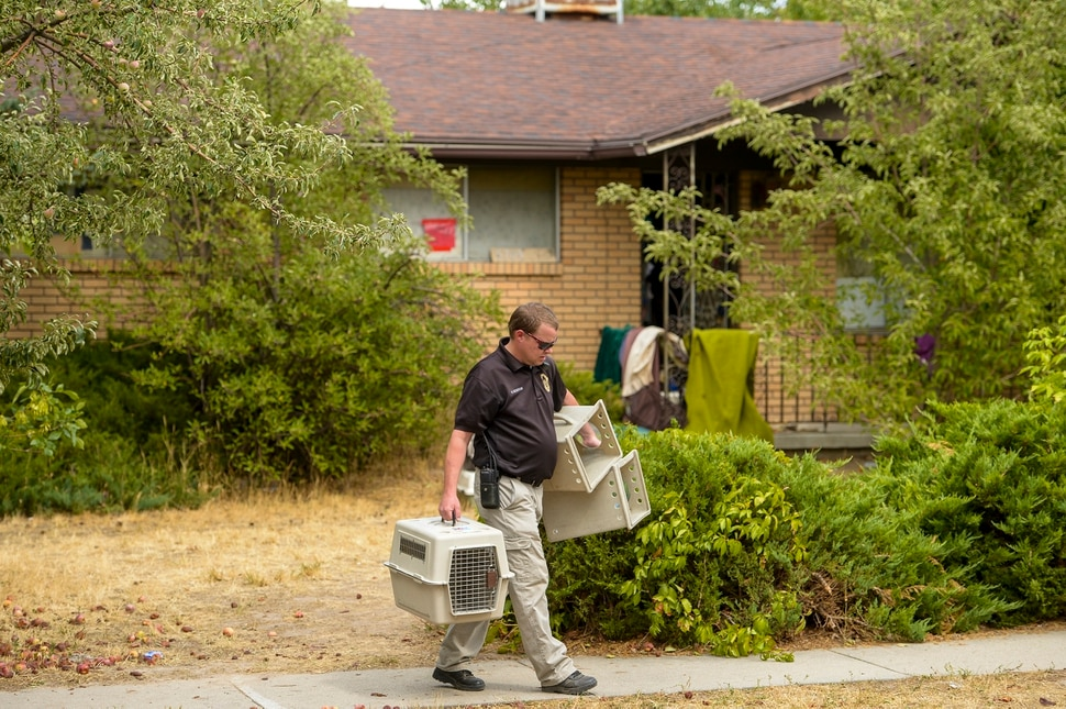 Leah Hogsten | The Salt Lake Tribune A member of Unified Fire Authority transports empty dog kennels outside a home that was filled with over 100 small dogs in a Taylorsville home. Animal officers from multiple agencies transported a majority of the dogs, mostly chihuahua and terrier mixes, to shelters in Salt Lake City, Thursday, August 24, 2018.