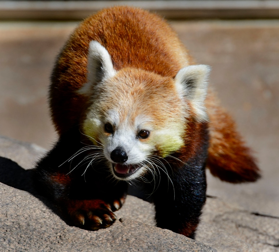 (Steve Griffin | The Salt Lake Tribune) A red panda checks out its new exhibit as the Hogle Zoo adds two red pandas to its permanent exhibit in Salt Lake City Friday May 4, 2018. The 3 1/2 year-old male and the seven year-old female will make Hogle Zoo their permanent home after arriving from their previous home at Reid Park Zoo in Tucson, AZ. Red pandas are also called lesser pandas and live in the mountainous areas of Nepal and southwestern China. Their diet consists mostly of bamboo.