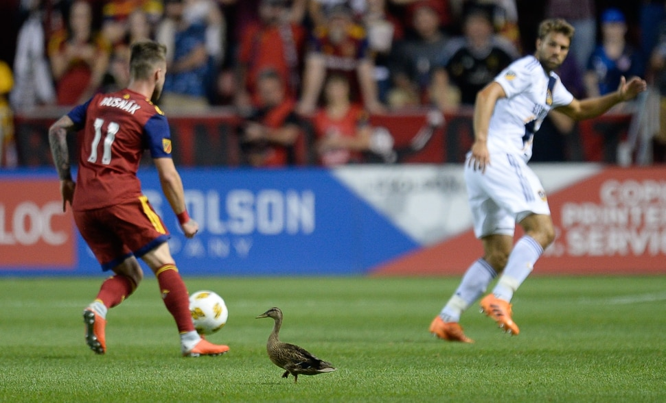 (Francisco Kjolseth | The Salt Lake Tribune) A duck joins the game during the first half of the MLS soccer match Saturday, Sept. 1, 2018, in Sandy at Rio Tinto Stadium.