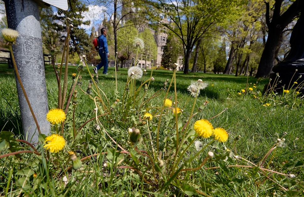 (Al Hartmann | The Salt Lake Tribune) Dandelions are in full bloom in front of Salt Lake City Hall on Monday April 23, 2018.