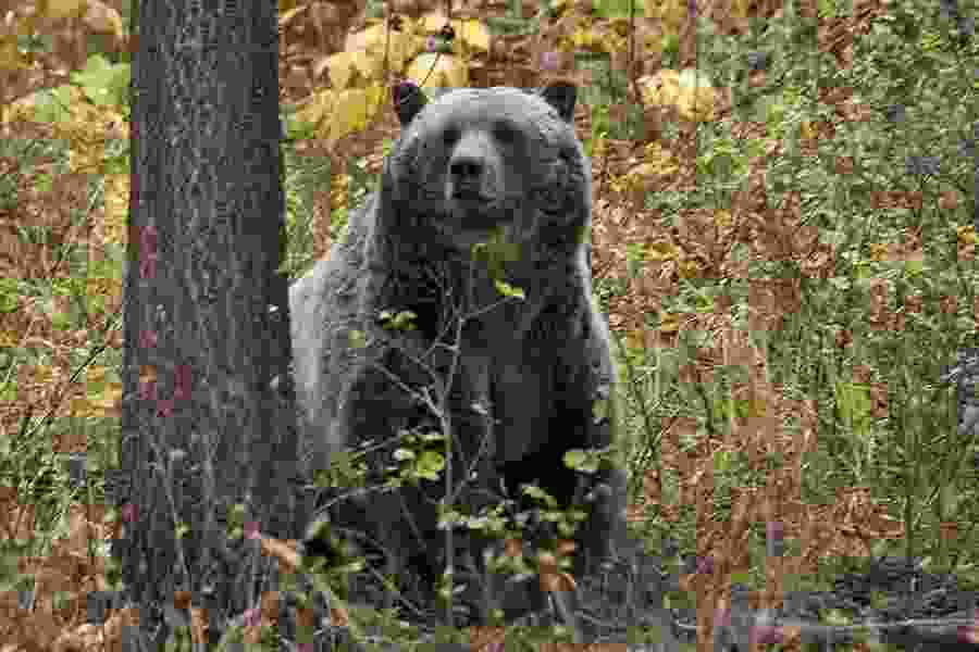 Alexandra Petri: Endangered bear confident it would not be treated this way if it were only a person