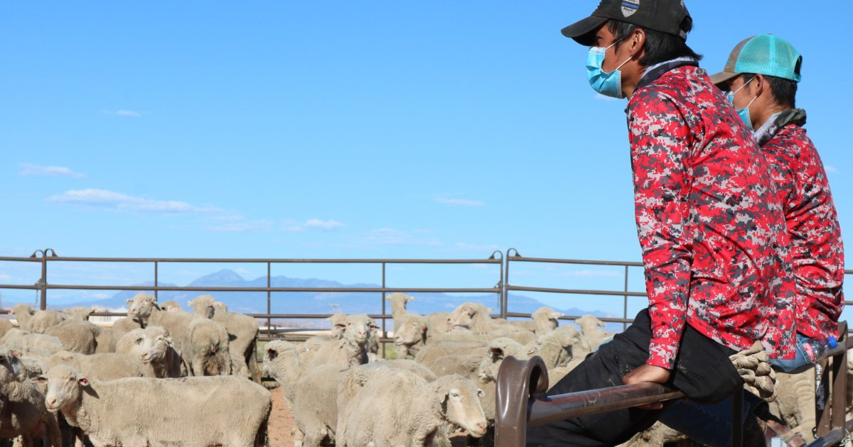 Utah Farm Bureau helps deliver 500 live sheep, 16,000 pounds of lamb to the Navajo Nation