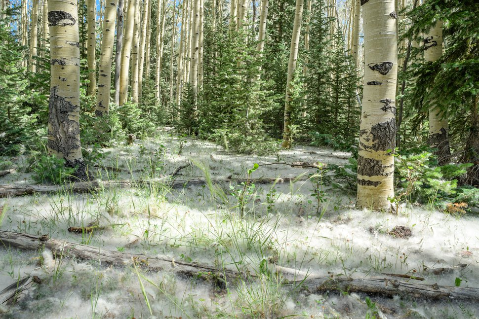 Photo courtesy of Mike Saemisch. Cottony aspen seeds blanketed the ground around an aspen stand near Brian Head last July, a year after the region burned. Utah State University scientists are studying the icon tree's robust return following a wildfire that blackened 72,000 acres.