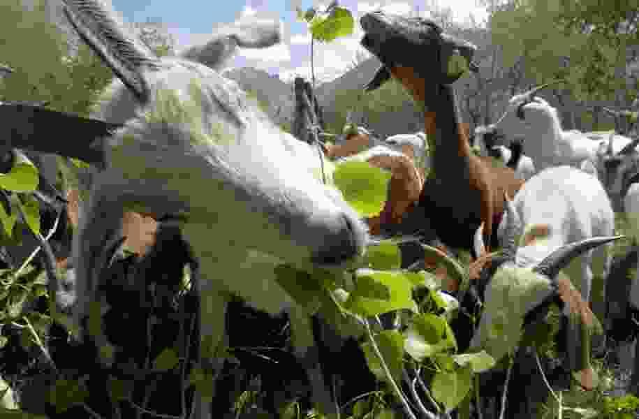 Salt Lake City elementary school employs goats for gardening work