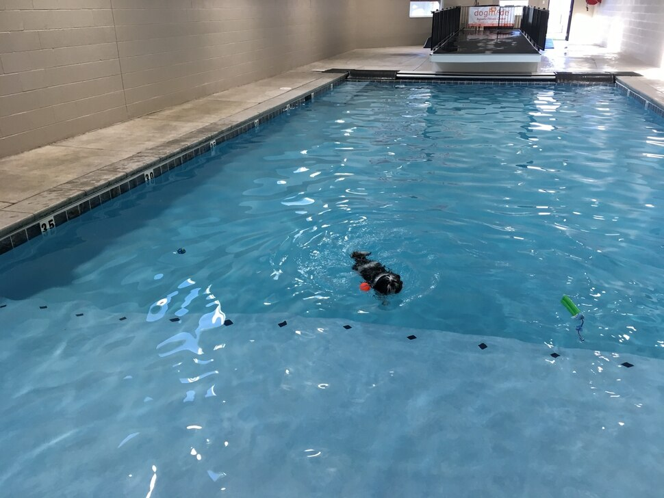 (Scott D. Pierce | The Salt Lake Tribune) Chip unexpectly became a swimming Shih Tzu at DogMode's Aquatic Fitness Center for dogs.