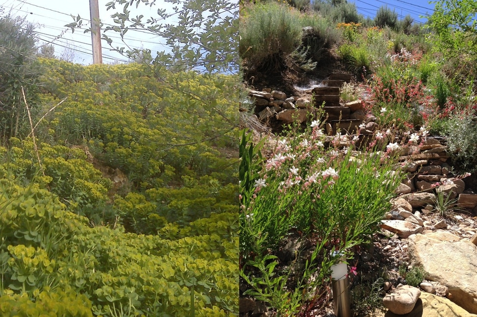 (Erin Alberty | The Salt Lake Tribune) Starting in 2010, reporter Erin Alberty and her husband eradicated a carpet of invasive Myrtle Spurge from their backyard in Salt Lake City, and replaced it with a garden of plants from the American West. Here are images of the same site in 2010 and in 2013.