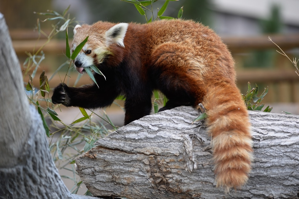 (Francisco Kjolseth   The Salt Lake Tribune) A report came out on Monday, May 6, 2019, that says one million different species are in imminent danger of extinction several of which are represented at Hogle Zoo like Louie the Red Panda.