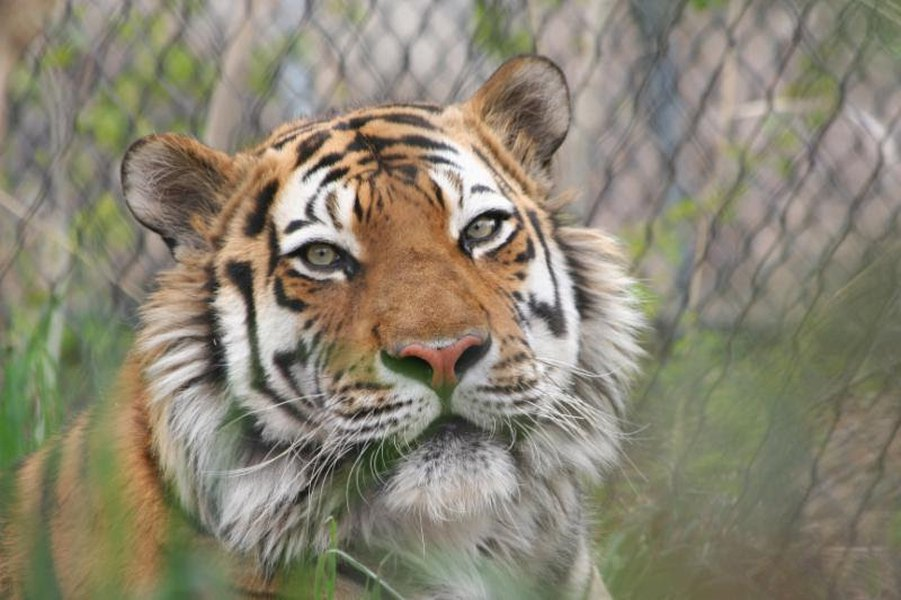 hogle zoo tiger kazek dies one month short of 15th birthday the