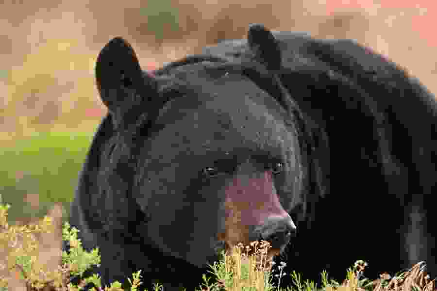 Officials want Utah hunters to kill more black bears