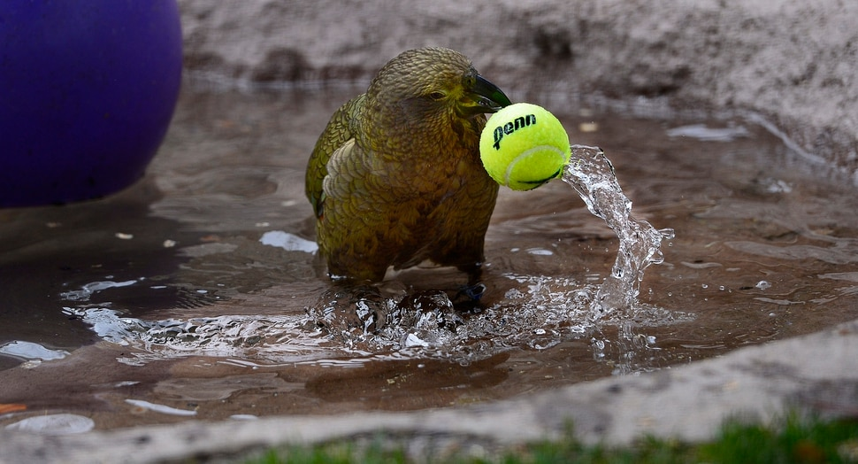 (Scott Sommerdorf | The Salt Lake Tribune) One of Tracy Aviary's four Keas picks up a tennis ball in order to slam dunk it into the pool for fun in their new exhibit, Expedition Kea, May 10, 2018.