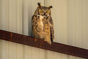 (Trent Nelson  |  The Salt Lake Tribune)  A great horned owl at Antelope Island State Park on Thursday May 16, 2019. Charity Owens, a park ranger at Antelope Island State Park, and Jesse Watson, a research biologist with HawkWatch, led a group of birders on the Owl Prowl which is part of the Great Salt Lake Bird Festival in Davis County. Antelope Island is prime habitat for several species of owl: Great Horned, Barn, Burrowing, Long-eared and Short-eared owls.