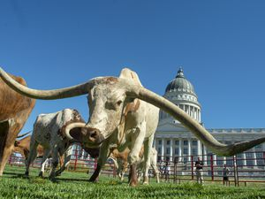 (Rick Egan | The Salt Lake Tribune) Longhorn cattle graze on the lawn in front of the Utah State Capitol before a news conference on the Days of 47 festivities, Tuesday, July 16, 2019.