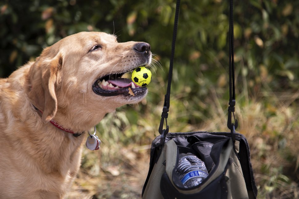 (Ben Dorger | Standard-Examiner via AP) In this Tuesday, Aug. 21, 2018 photo, Arnie Smith takes his yellow lab, Gabby, to collect golf balls on Mt. Ogden Golf Course in Ogden, Utah. Gabby has a special talent of sniffing out golf balls in the brush along the fairway.