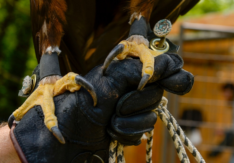 (Leah Hogsten | The Salt Lake Tribune) The talons of Magando, a golden eagle who was a star of Hogle Zoo's World of Flight bird show, June 17, 2020.