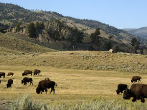 (Matthew Brown | AP) In this Aug. 3, 2016 file photo, a herd of bison grazes in the Lamar Valley of Yellowstone National Park in Wyo.